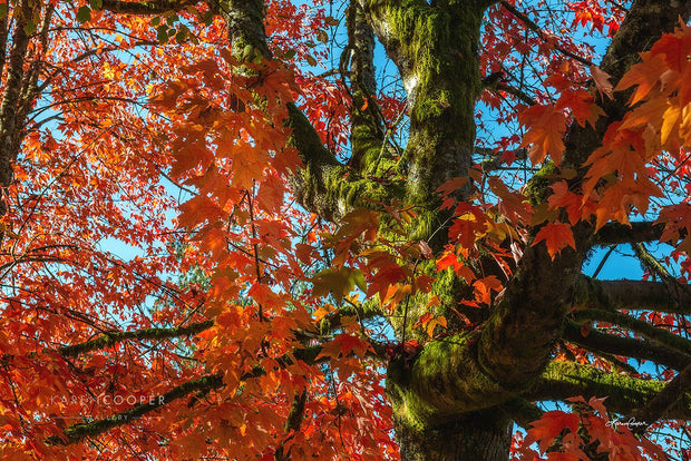 Fine art luxury nature landscape photography by Karen Cooper GalleryDetail of a moss-covered maple tree with bright orange leaves in Vancouver British Columbia Canada