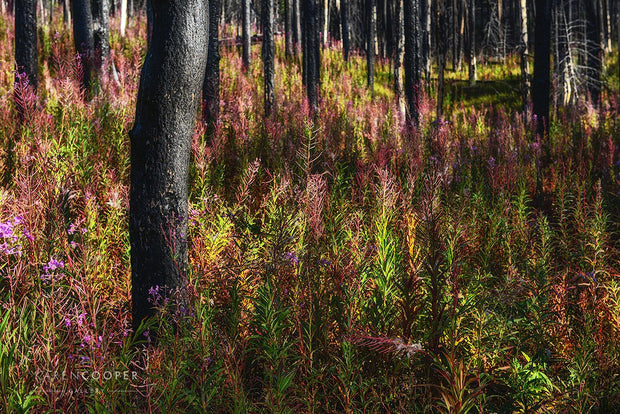 Charred, black trees surrounded by bright green and purple fireweeds.