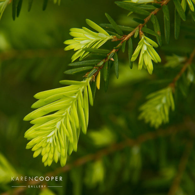 Detail of an evergreen tree's soft pine needles
