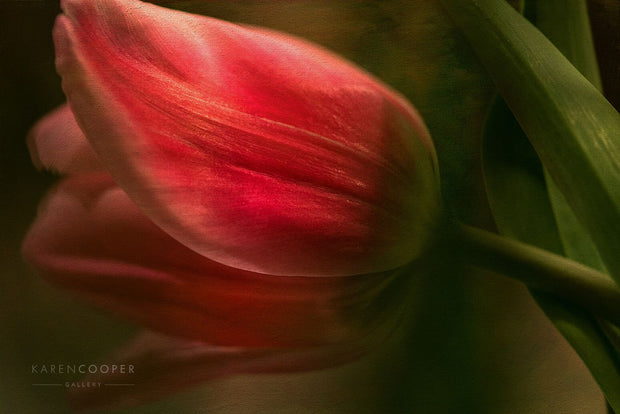 red tulip with green leaves laying on side