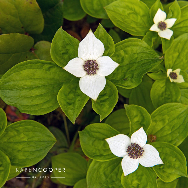 Detail of four small white flowers surrounded by their large, green foliage  in a forest in British Columbia