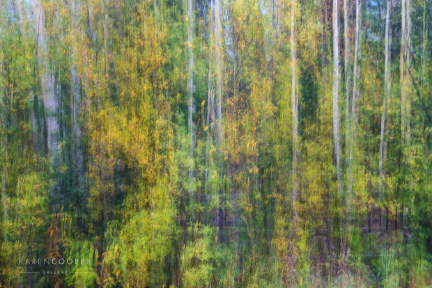 Fine art luxury nature landscape photography  of white aspens abstract in a green forest in spring in British Columbia