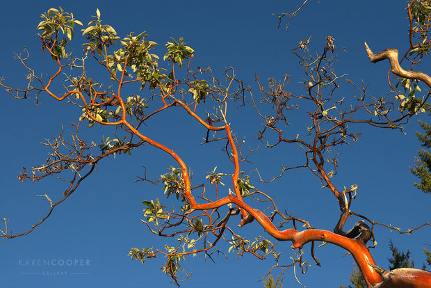 Fine art luxury nature landscape photography Orange arbutus tree branch with green leaves against a bright blue sky in Victoria in British Columbia
