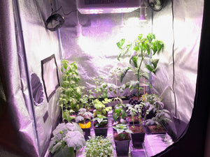 Plants grown indoors in a grow tent
