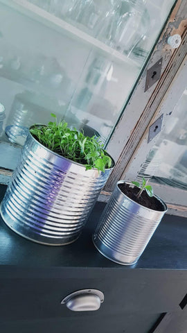 Grow micro greens indoor