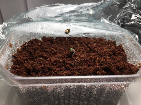 Cannabis seedling sprouting