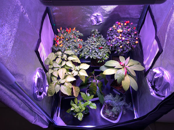 Peppers and vegetables inside an indoor grow tent