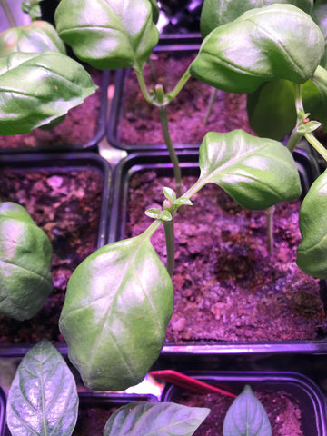 Basil cut to prevent flowering