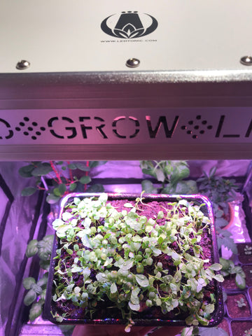 Arugula grown under LED grow light
