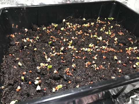 Broccoli, microgreens germinating, 3-day-old.