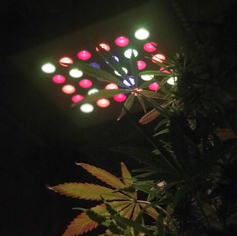 LED grow light growing cannabis