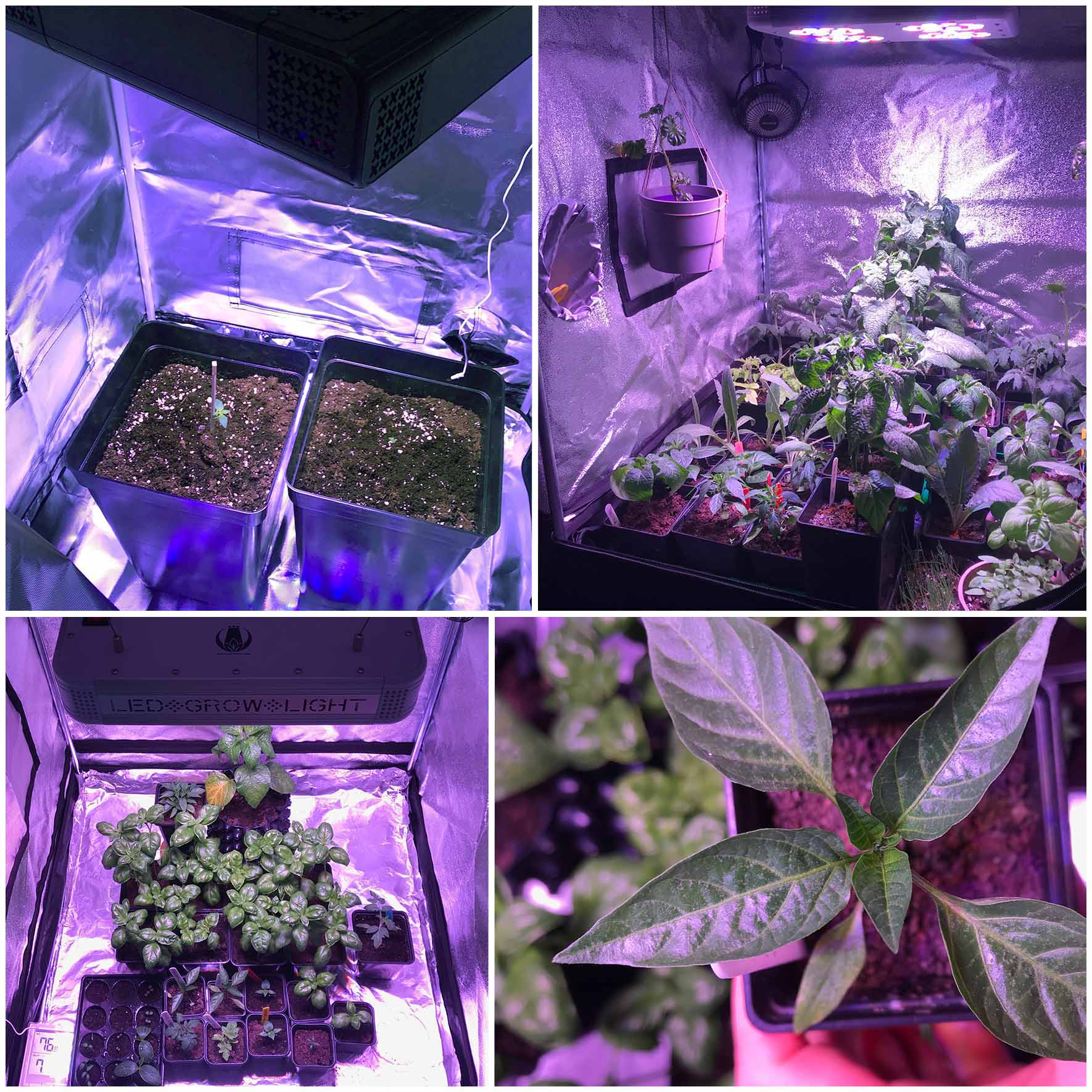 Indoor garden with basil, tomato, peppers, microgreens grown under LED grow light