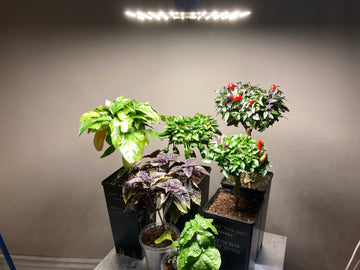 Growing pepper and basil with LEDTonic Q2