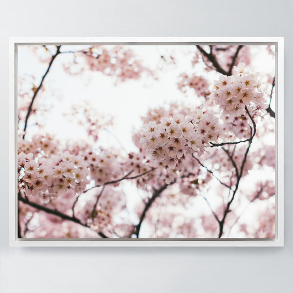 Cherry Blossom - Stretched Canvas