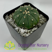 Load image into Gallery viewer, Astrophytum Asterias