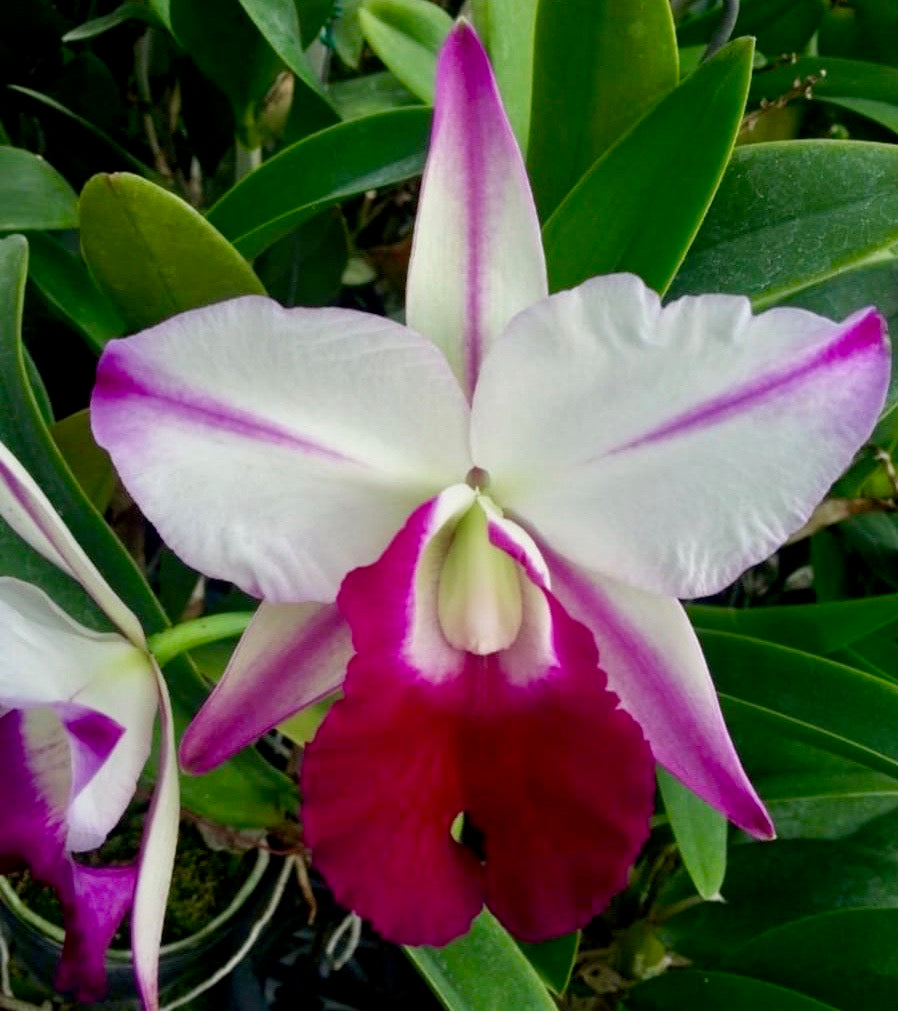 Cattleya Men Robert Strait 'Islander Delight'