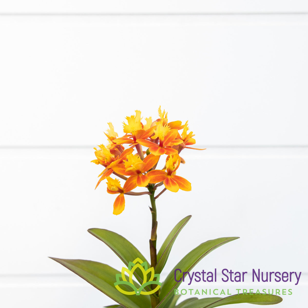 Epidendrum Fantasy Valley x Liberty Valley