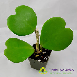 Hoya Kerrii Green Big Leaf