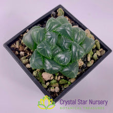 Load image into Gallery viewer, Haworthia obtusa hybrid