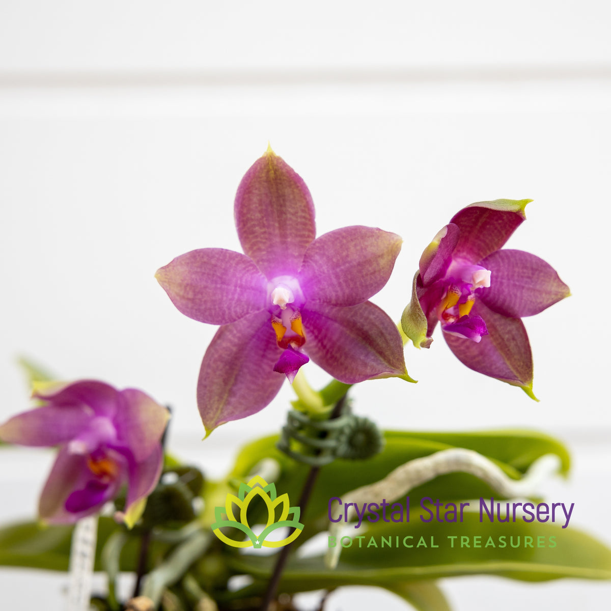 Phal (Chienlung Dragon Girl x Chienlung Happy King) (39)