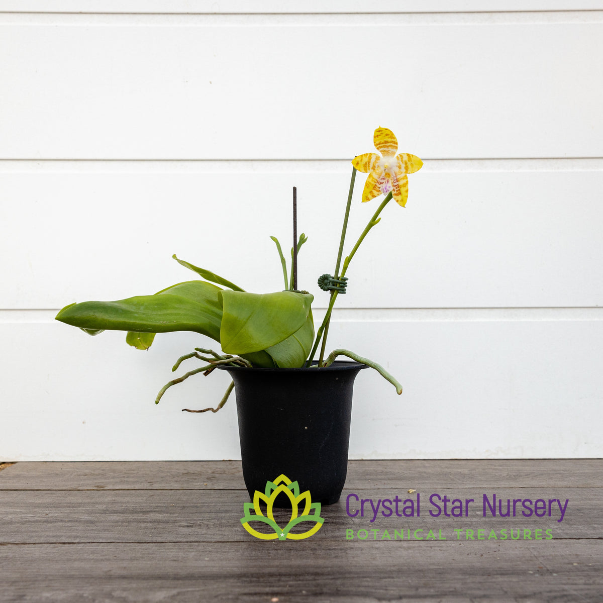Phal Chienlung Happy Mary x Yungho Gelbliambo  (CL1048)