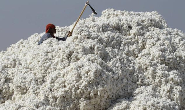 Genetically modified cotton in India