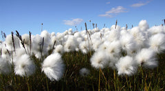 organic cotton, grown without chemicals
