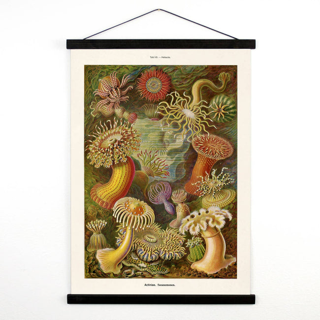 Vintage Natural History Haeckel Sea Anemone Canvas Hanging