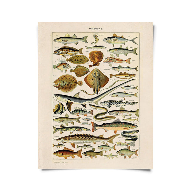 Vintage Natural History French Sea Life Fish Print