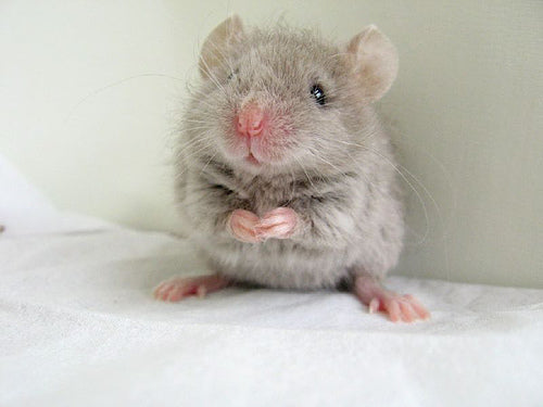 Cute mouse; image courtesy of petsbunch.com