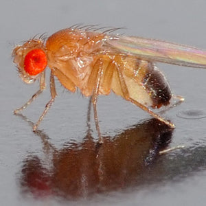FRUIT FLIES IN YOUR COMMERCIAL KITCHEN?