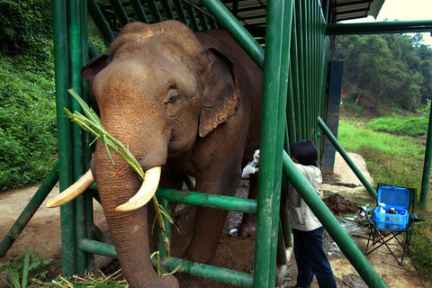 Elephants, unlike humans or civets, are herbivores. The fermentation happening in their gut as they break down cellulose helps remove the bitterness in the coffee beans. Here, an elephant receives medical treatment from the Golden Triangle Asian Elephant Foundation. Michael Sullivan/NPR