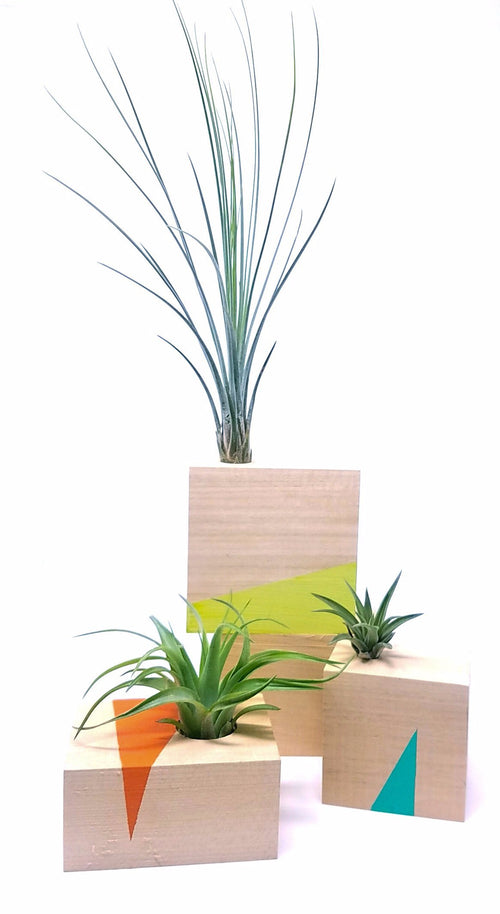 Air Plant with Modern Wood Base