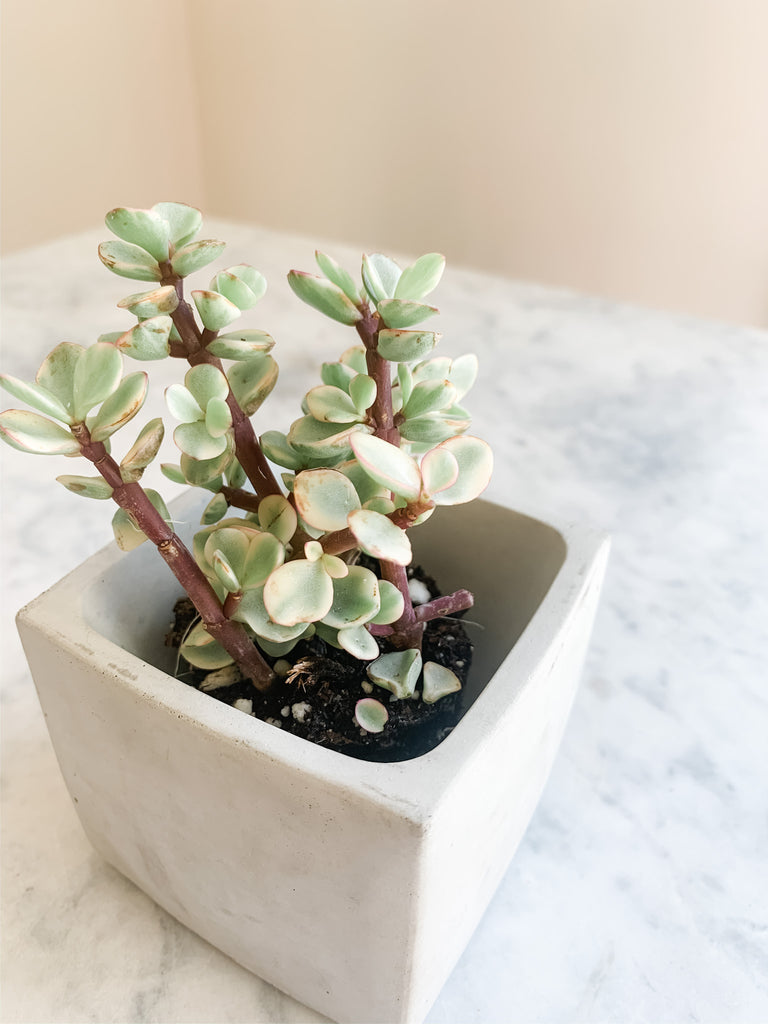 Concrete small planter with plant, modern home decor