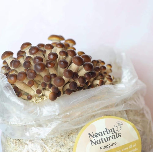 Pioppino Mushroom Grow Kit