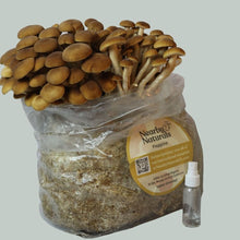 Load image into Gallery viewer, Pioppino Mushroom Grow Kit