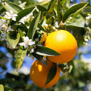 Orange Tree Midknight Valencia Citrus Tree