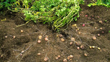 Load image into Gallery viewer, Back to Eden Gardening Yukon Gold Potato