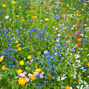Annual Wildflower Mix