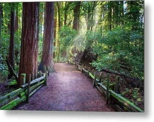 A Light in the Redwoods - Metal Wall Art Print