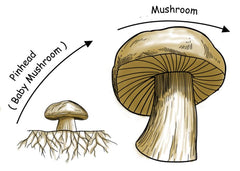 The Mushroom Life Cycle – Forest Origins
