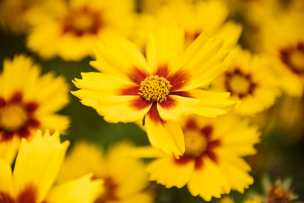 Perspective Photography - Image of yellow flowers Filling the Frame