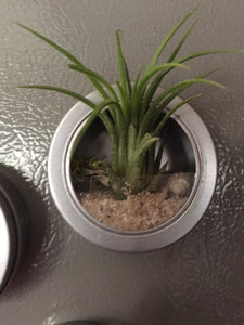 Tin magnet with air plant, DIY kit