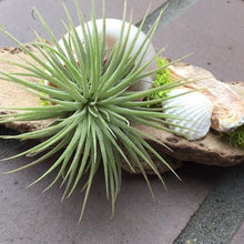 Load image into Gallery viewer, Driftwood pieces featuring air plants