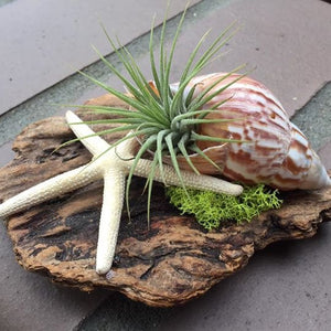 Driftwood pieces featuring air plants