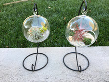 Load image into Gallery viewer, Hanging glass globe Terrarium with Air Plant