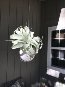 Hanging ceramic container with air plant