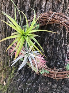 "Live air plant 10"" grapevine wreath,  air plant wreath"