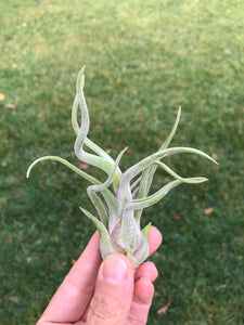 Caput Medusae air plant, 2 sizes available, single air plant, living plant, living gift