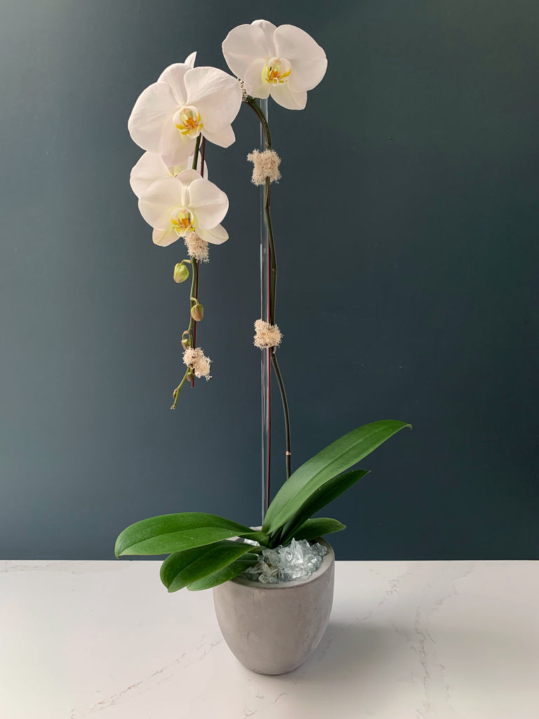 White Phalaenopsis Orchid Plant Third Bloom